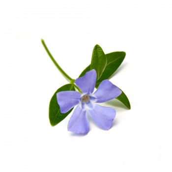 Periwinkle 50g.